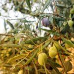 Olivenbaum in Nafplio