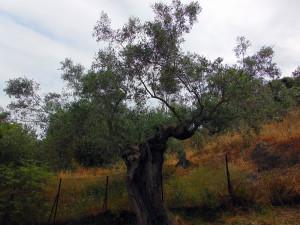 Der Olivenbaum - jahrtausendaalte Kulturpflanze und ein Stück griechische Identität.